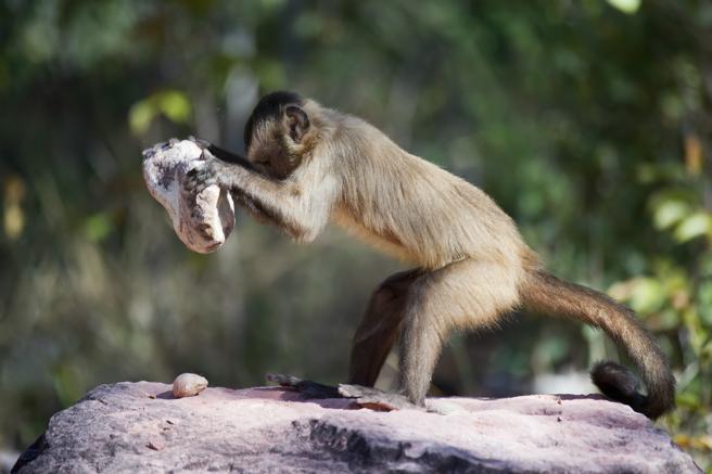 Los monos capuchinos usan herramientas de piedra para abrir alimentos duros (Ben Cranke / Getty)