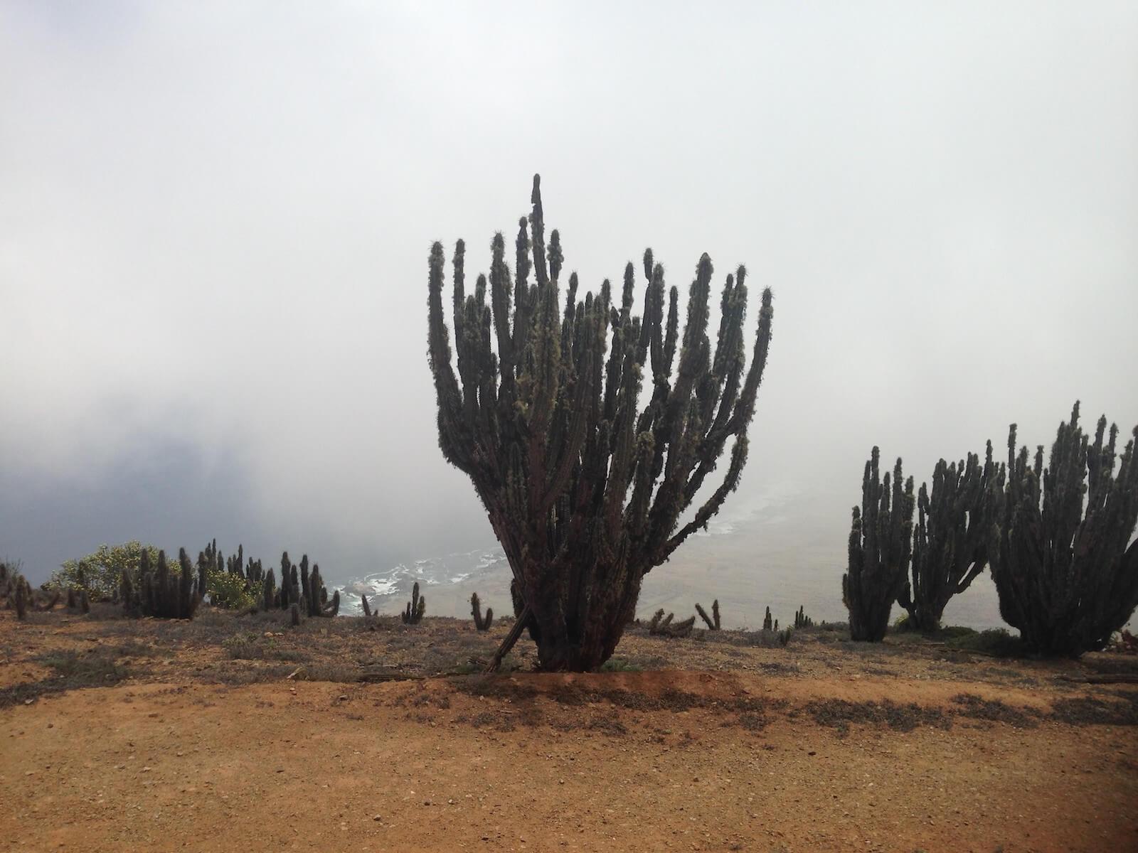 arqueobotánica cactus atacama